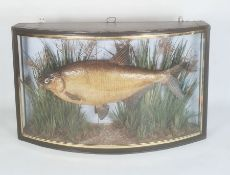 Victorian taxidermy breamby J Cooper of 28 Radnor Street, London, in curved glazed case with