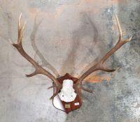 Deer antlers, 11 points,mounted on oak shield