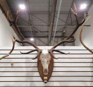Deer antlers, 12 points,mounted on oak shield
