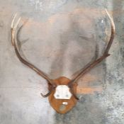 Deer antlers, six points,mounted on oak shield and another, four points (2)