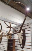 Deer antlers, six points,mounted on oak shield
