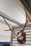 Deer antlers, eight points,mounted on oak shield