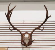 Deer antlers, 11 points,mounted on oak shield and a smaller pair of mounted on relief carved wooden