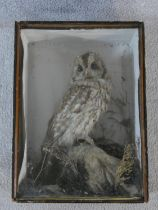 A vintage taxidermy study of a Tawny Owl, cased and naturalistically set among substrate. H.46xW.