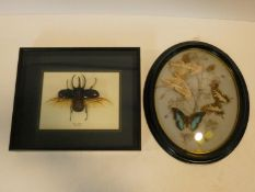 A late 19th century taxidermy of Swallowtail butterflies with a silk moth and scarab beetles among