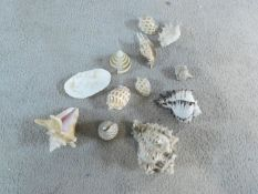 A collection of exotic sea shells including three large conch shells, a clam, three Semicassis