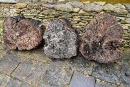 A set of three cut tree sections fitted as garden statuary stands. Dia. 50cm