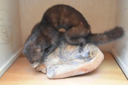 A taxidermy stuffed mink sitting on a large piece of wood on slide out base in bespoke fitted