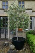 An olive tree in large faux ceramic planter. (H. about ten feet).