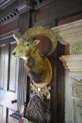 A taxidermy European Mouflon head mounted on carved oak leaf shield. H.88cm