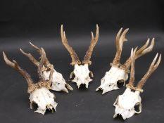 Five sets of deer antlers on cut upper skulls. 26cm