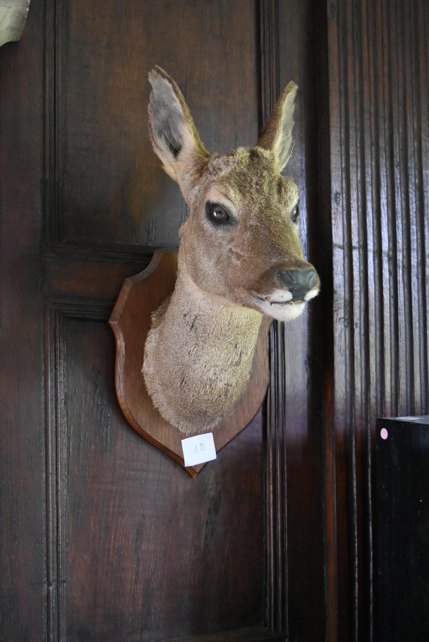 Taxidermy Roe deer's head mounted on oak shield. H.50cm