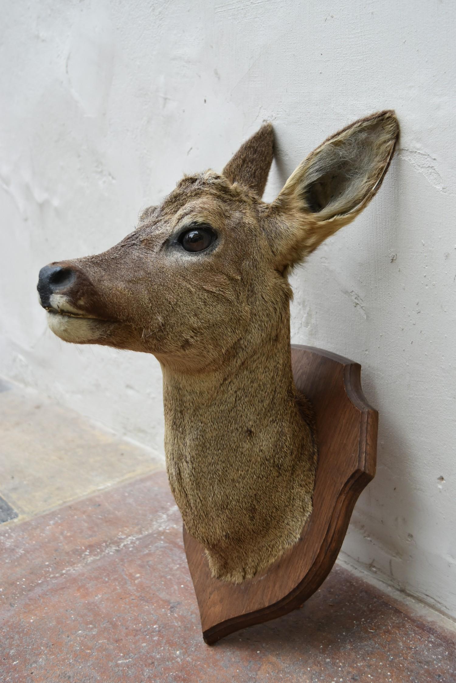 Taxidermy Roe deer's head mounted on oak shield. H.50cm - Image 3 of 6