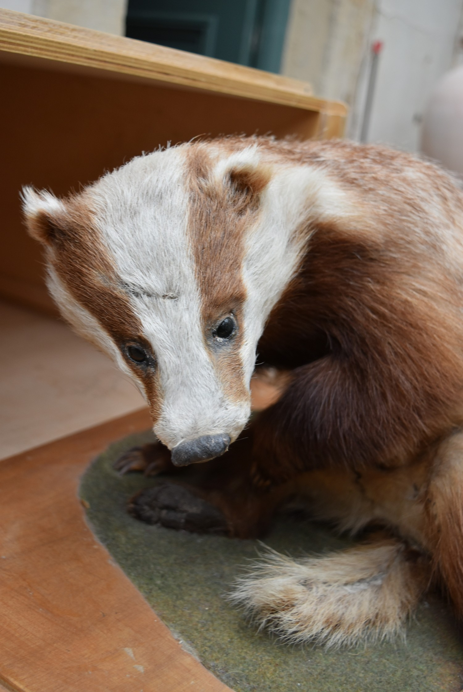 A taxidermy stuffed badger in seated pose on slide out base in bespoke fitted travelling safety - Image 4 of 8