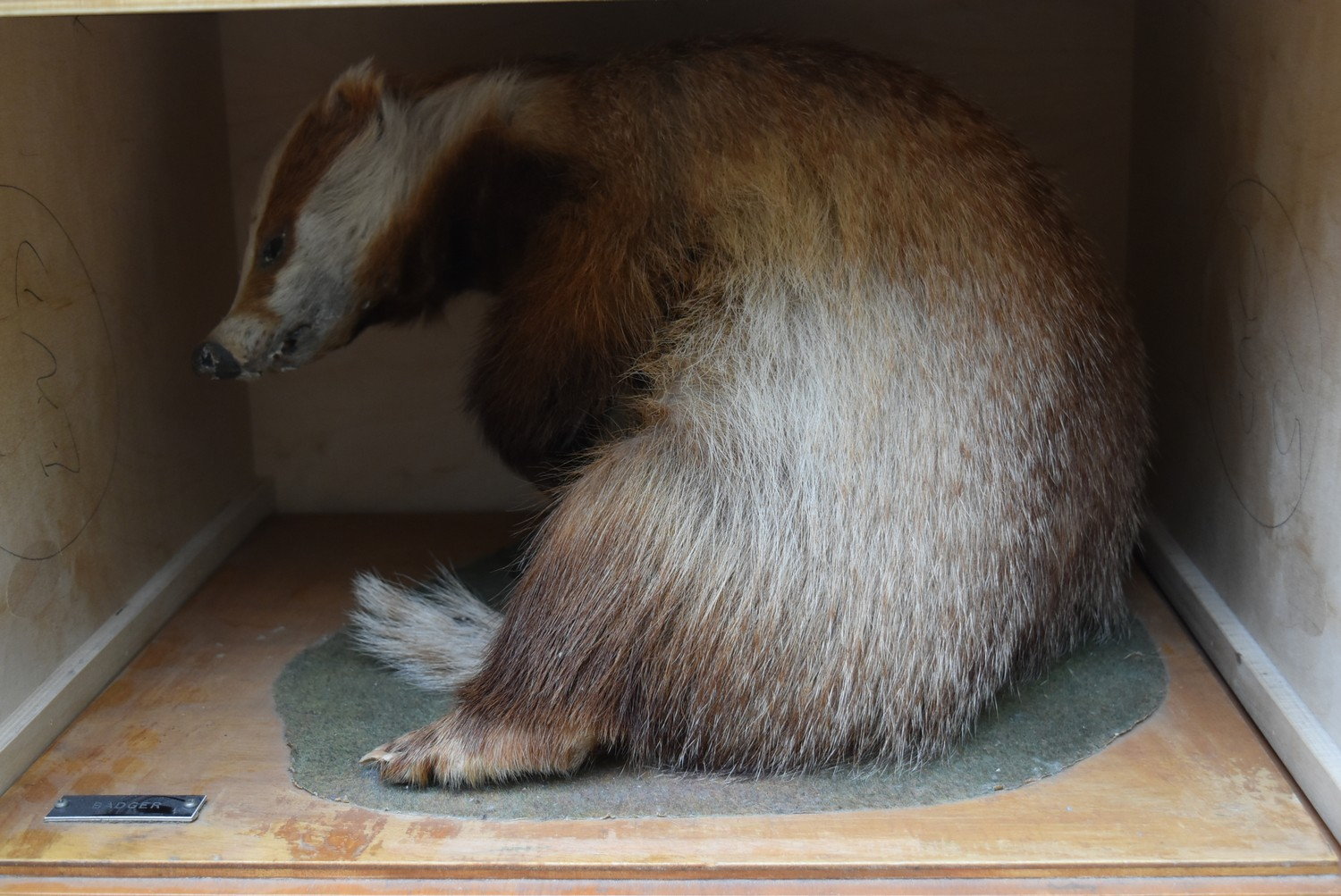 A taxidermy stuffed badger in seated pose on slide out base in bespoke fitted travelling safety - Image 3 of 8
