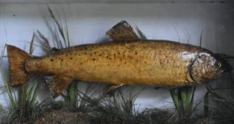 A taxidermy, cased mounted Brown Trout (Salmo Trutta) set against a painted backdrop with