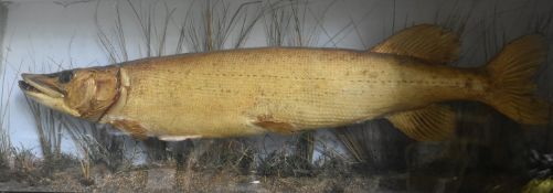 A taxidermy, cased, mounted Pike, set against a painted backdrop with realistic river bed setting,