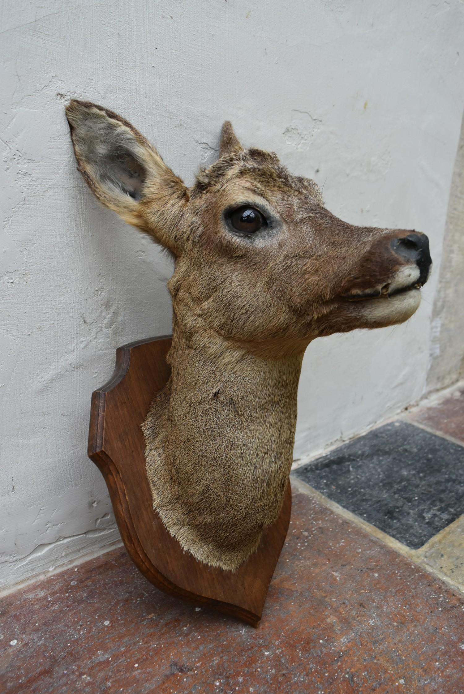 Taxidermy Roe deer's head mounted on oak shield. H.50cm - Image 5 of 6