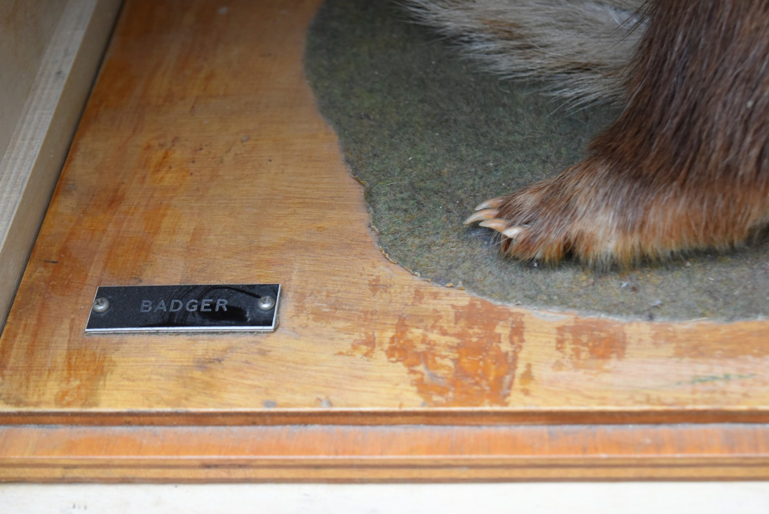 A taxidermy stuffed badger in seated pose on slide out base in bespoke fitted travelling safety - Image 5 of 8