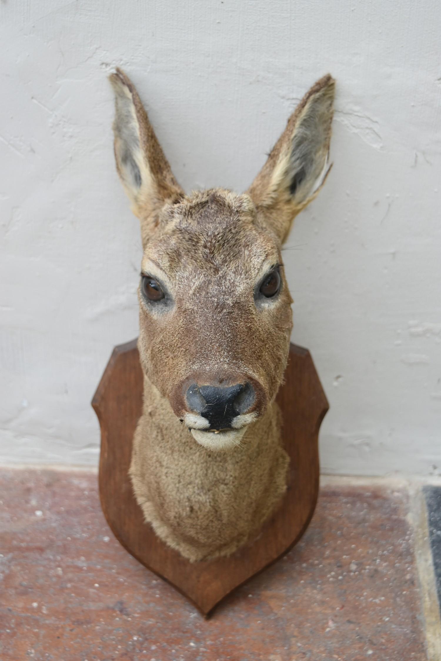 Taxidermy Roe deer's head mounted on oak shield. H.50cm - Image 4 of 6