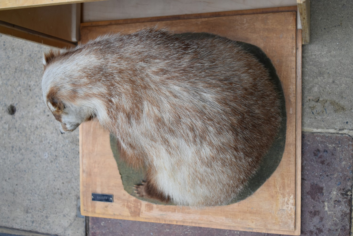 A taxidermy stuffed badger in seated pose on slide out base in bespoke fitted travelling safety - Image 2 of 8