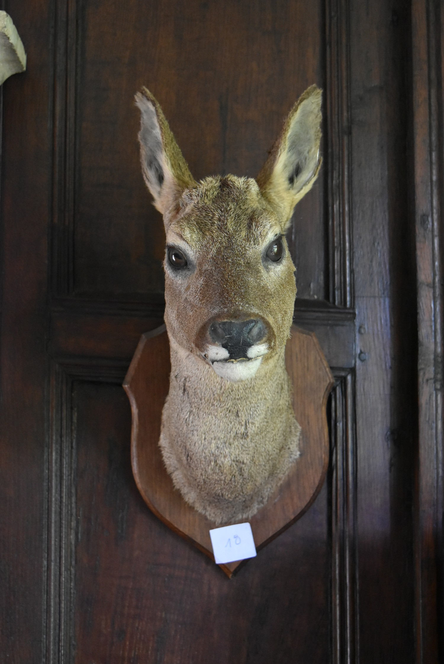 Taxidermy Roe deer's head mounted on oak shield. H.50cm - Image 2 of 6