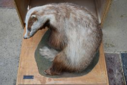 A taxidermy stuffed badger in seated pose on slide out base in bespoke fitted travelling safety