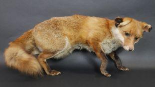 An antique taxidermy stuffed fox. H.31 L.65cm