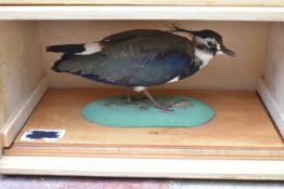 A taxidermy Northern Lapwing (vanellus vanellus) on slide out base in bespoke fitted travelling