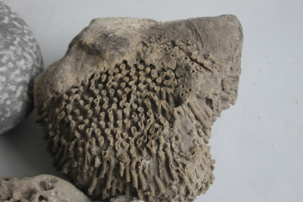 A COLLECTION OF FOSSILS MAINLY IN LARGE BOLDER FORM, to include a coprolite (fossilized poo) - Image 6 of 7