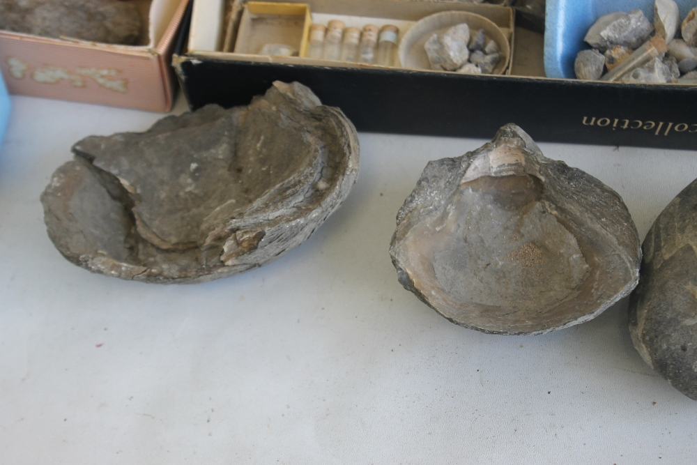 THREE TRAYS OF ASSORTED FOSSILS, to include gastropods, amonites etc - Image 5 of 9