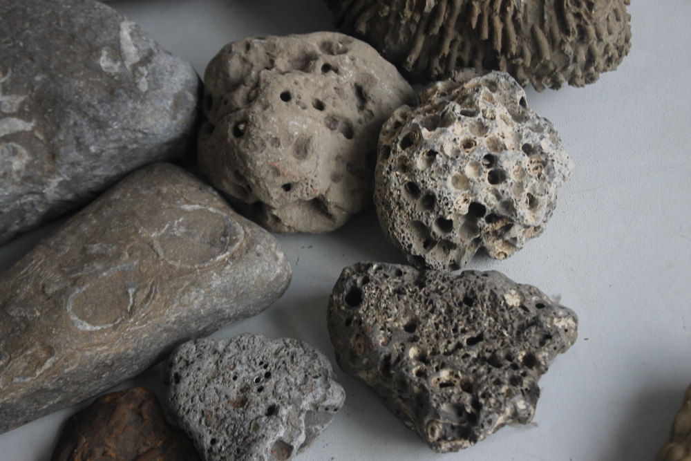 A COLLECTION OF FOSSILS MAINLY IN LARGE BOLDER FORM, to include a coprolite (fossilized poo) - Image 5 of 7