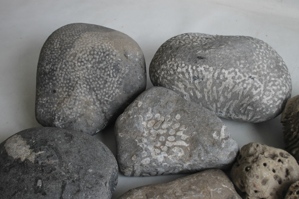 A COLLECTION OF FOSSILS MAINLY IN LARGE BOLDER FORM, to include a coprolite (fossilized poo) - Image 7 of 7