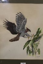 A FRAMED AND GLAZED MIXED MEDIA OF A BIRD OF PREY ABOUT TO CATCH A LIZARD, SIGNED A.COOPER '78 LOWER