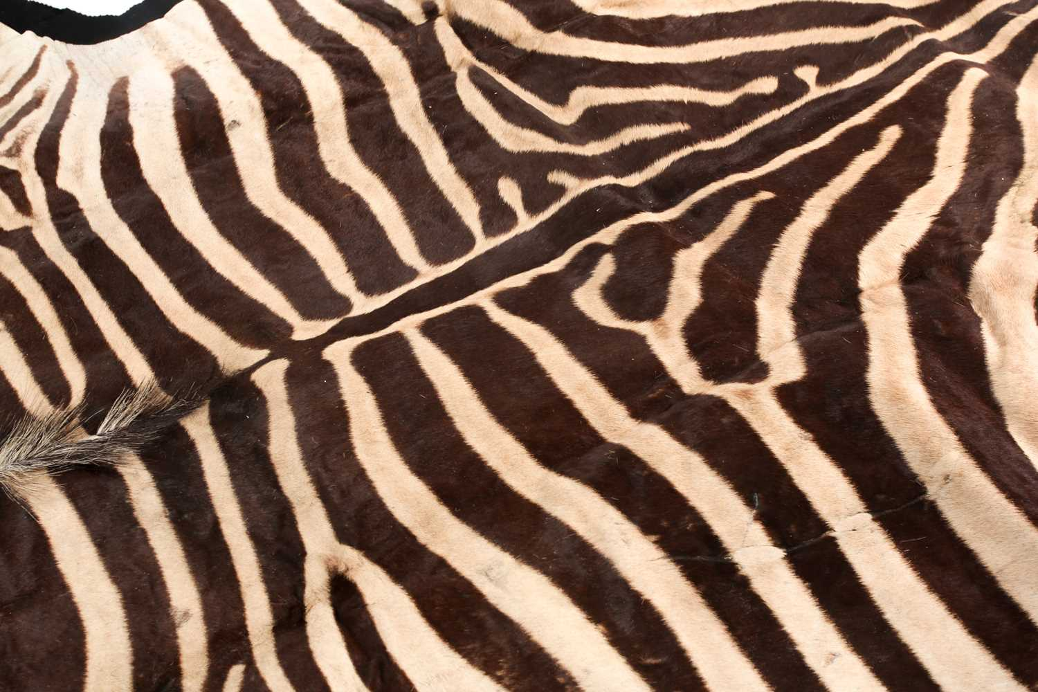 A large fabric-backed Zebra skin rug with an unblocked head. 285 cm long x 195 cm wideCondition - Image 2 of 3