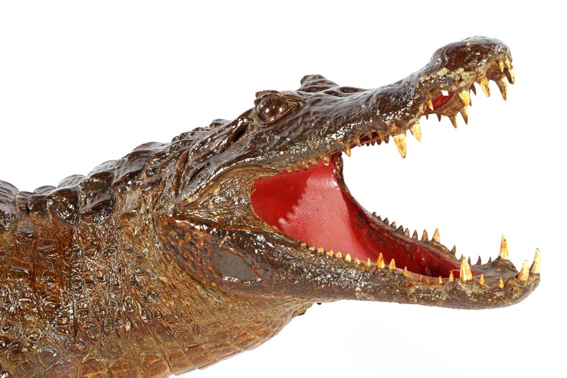 Prepared and stuffed crocodile, Africa ca.1925 - Image 6 of 7