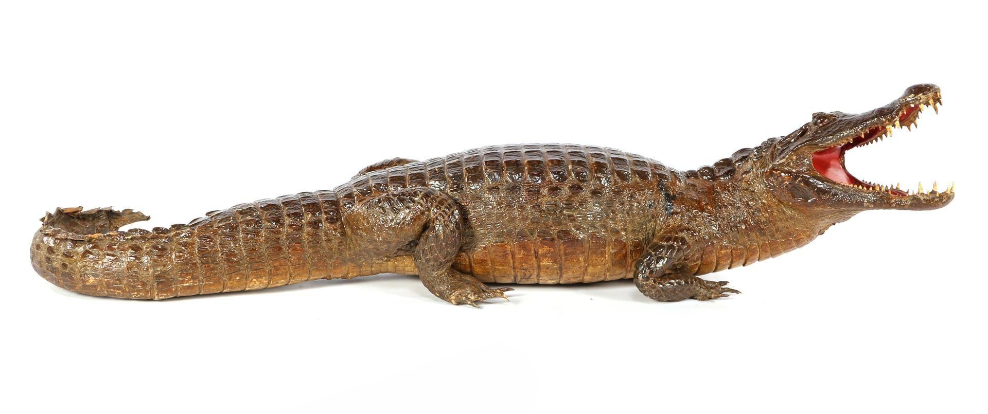 Prepared and stuffed crocodile, Africa ca.1925