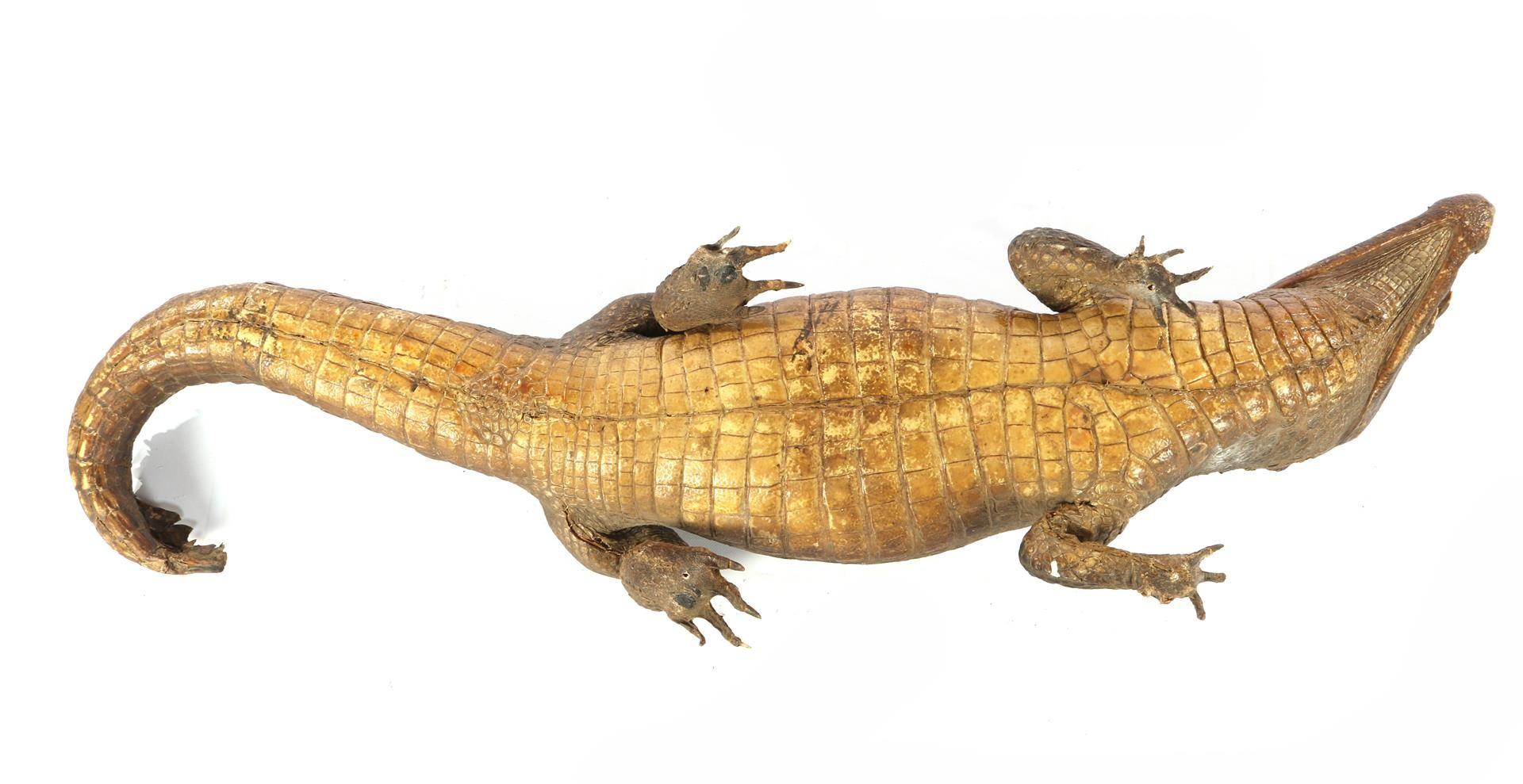 Prepared and stuffed crocodile, Africa ca.1925 - Image 4 of 7