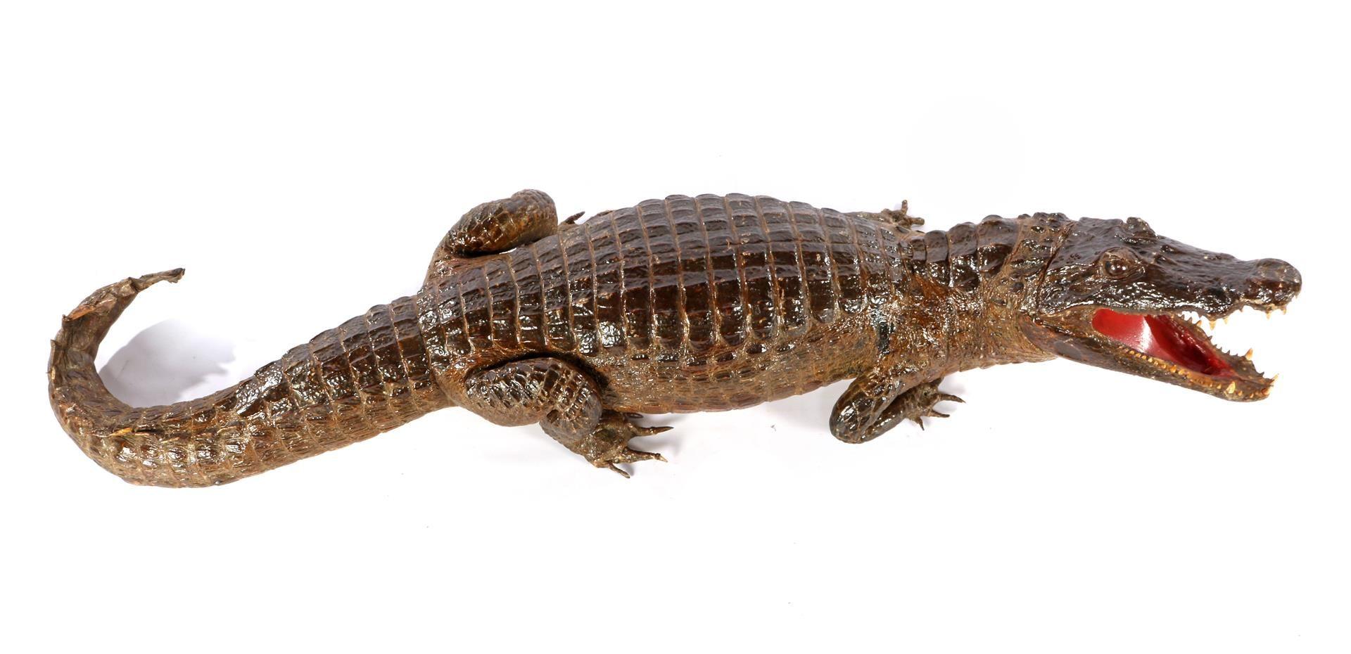 Prepared and stuffed crocodile, Africa ca.1925 - Image 3 of 7