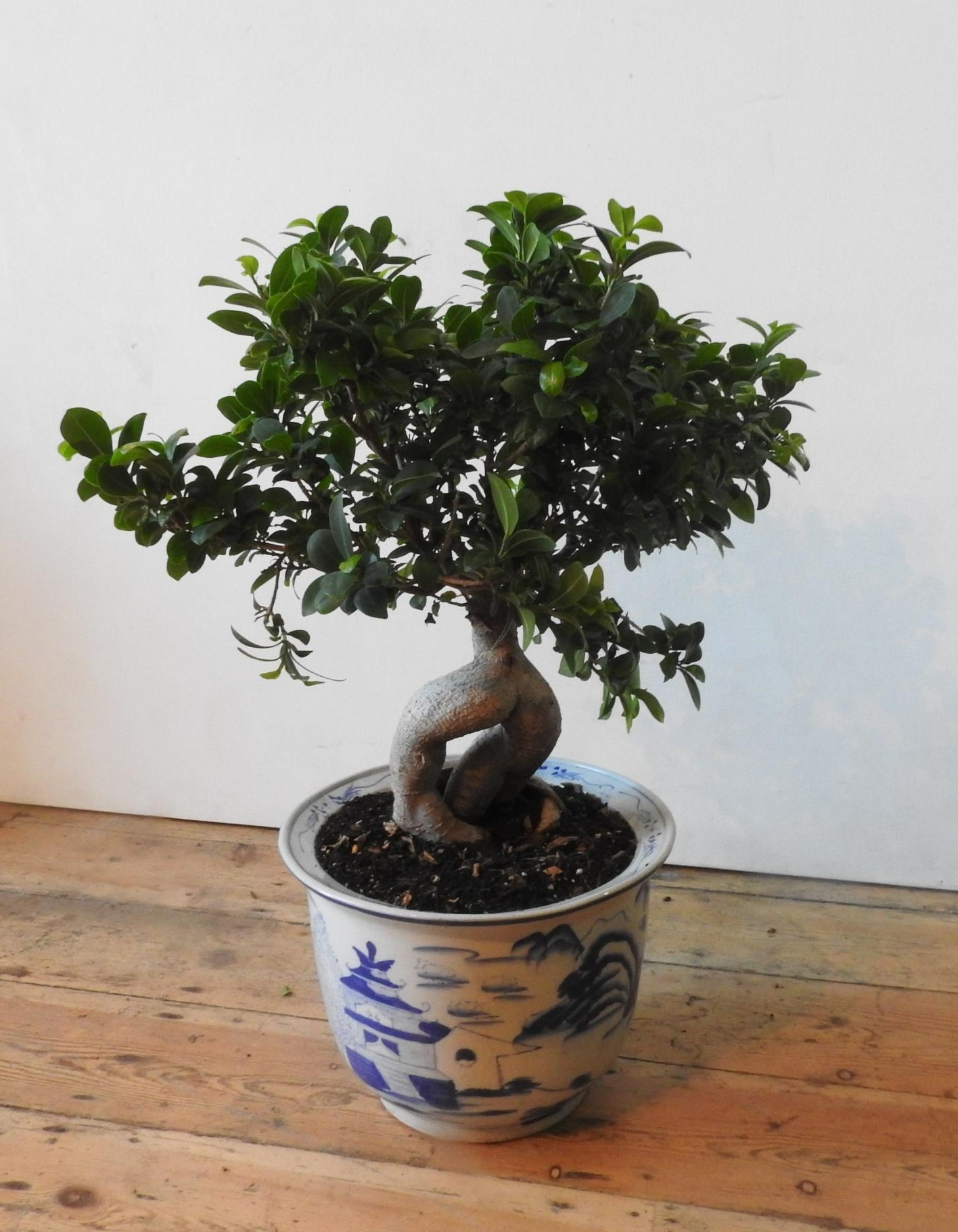 A FICUS GINSENG MICROCARPA BONSAI IN A BLUE AND WHITE GLAZED ORIENTAL JARDINERE - Image 2 of 3