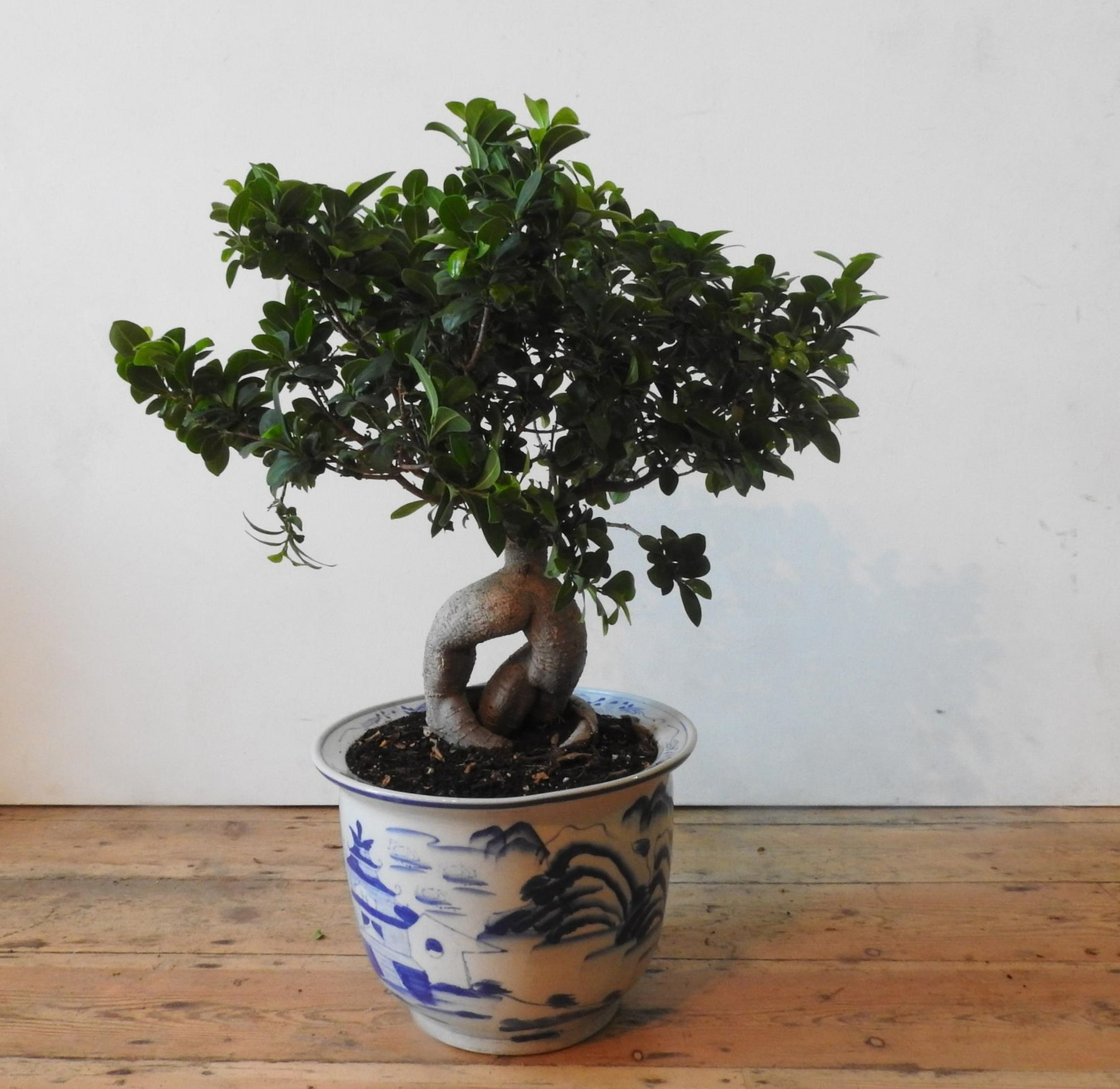 A FICUS GINSENG MICROCARPA BONSAI IN A BLUE AND WHITE GLAZED ORIENTAL JARDINERE - Image 3 of 3