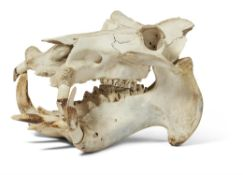 Y [Taxidermy] A RIVER HIPPOPOTAMUS SKULL, LATE 19TH CENTURY