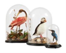 Y [Taxidermy] A GROUP OF THREE PRESERVED BIRDS UNDER GLASS DOMES, LATE 19TH AND 20TH CENTURY