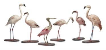 Y [Taxidermy] A PRESERVED ROSEATE SPOONBILL