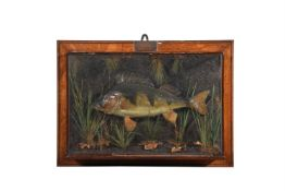 Y A late Victorian preserved perch, Perca