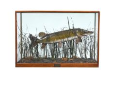 Y A late Victorian preserved model of a pike, Esox lucius