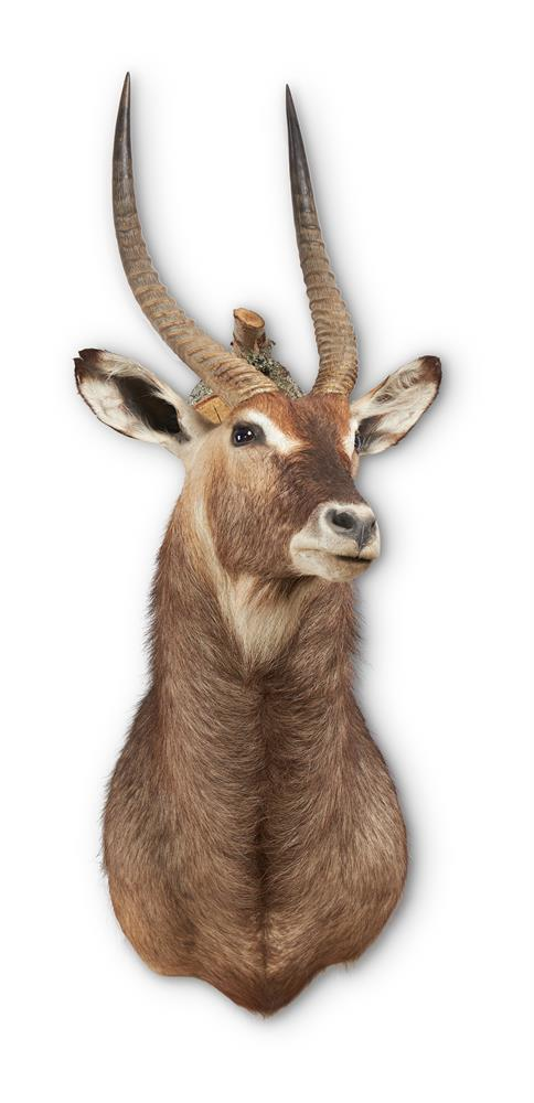 Y A PRESERVED WATERBUCK