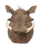 Y A PRESERVED COMMON WARTHOG