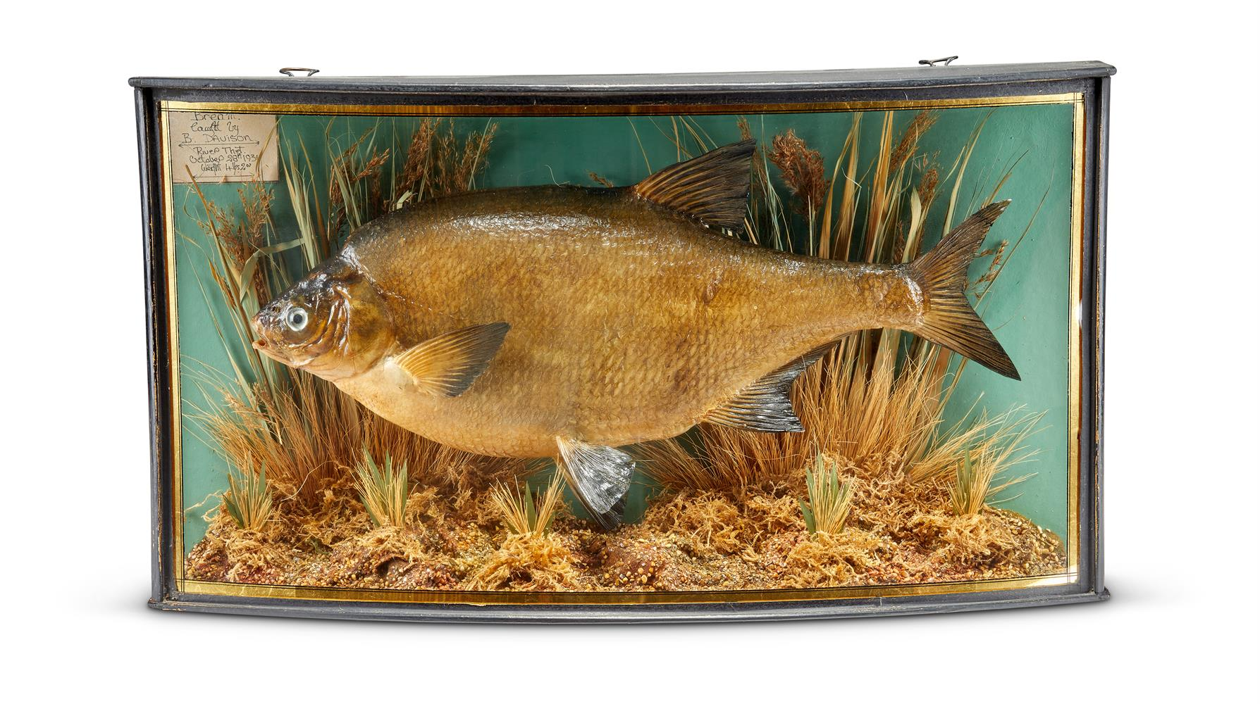 Y A PRESERVED MODEL OF A BREAM - Image 2 of 2