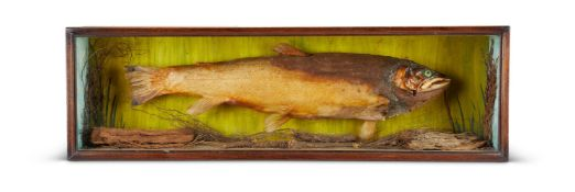 Y A PRESERVED MODEL OF A BREAM
